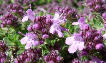 thyme-woolly-flowers